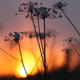Anthriscus sylvestris at sunset Royalty Free Stock Photo