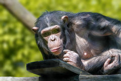 Anthropoid ape of a chimpanzee. Animal image of an anthropoid ape of a chimpanzee royalty free stock image