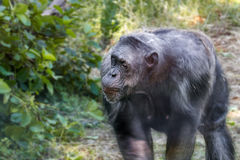 Anthropoid ape of a chimpanzee. Animal image of an anthropoid ape of a chimpanzee royalty free stock images