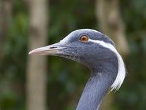 anthropoides crane demoiselle virgo Fotografia Royalty Free