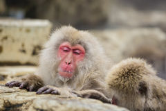 Anthropomorphism: Snow Monkey Fighting Sleep. A fuzzy, furry red-faced Snow Monkey with hands/paws no a rock ledge and a juvenile monkey beside it looks drowsy Royalty Free Stock Image