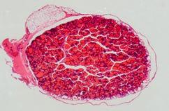 anthropotomy тиреоид медицинской науки железы Стоковое Изображение RF