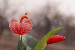 Anthura flower Stock Photo