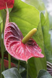 Anthure en fleur dans le jardin Image libre de droits
