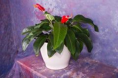 Anthuria/Rose Anthurium stock foto's