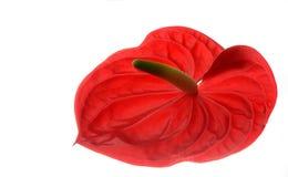 Anthurieae Στοκ φωτογραφίες με δικαίωμα ελεύθερης χρήσης