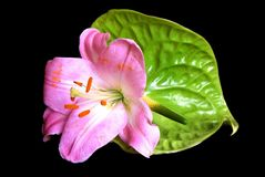 Pink flower on black stock images