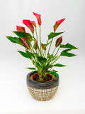 Anthurim flower plant Royalty Free Stock Photography