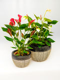 Anthurim flower plants Royalty Free Stock Images
