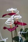 Anthurium άγγελοι Στοκ Φωτογραφία