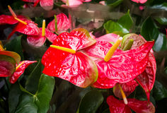 Anthurium άνθιση λουλουδιών φλαμίγκο Στοκ εικόνα με δικαίωμα ελεύθερης χρήσης