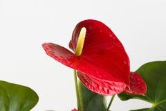 Anthurium ένα άνθισμα Στοκ φωτογραφίες με δικαίωμα ελεύθερης χρήσης