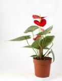 Anthurium ένα άνθισμα Στοκ Εικόνες