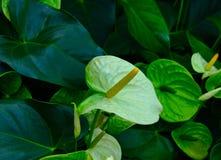 Anthurium ή πράσινο λουλούδι φλαμίγκο Στοκ Φωτογραφία