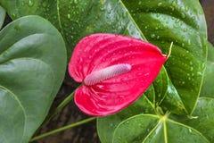 Anthurium ή φλαμίγκο τα λουλούδια κλείνουν επάνω anthurium των λουλουδιών Στοκ εικόνα με δικαίωμα ελεύθερης χρήσης