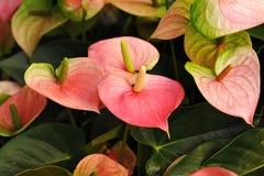 Anthurium ή φλαμίγκο άνθιση λουλουδιών στον κήπο Στοκ Εικόνα