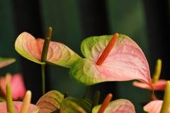 Anthurium ή φλαμίγκο άνθιση λουλουδιών στον κήπο Στοκ φωτογραφία με δικαίωμα ελεύθερης χρήσης