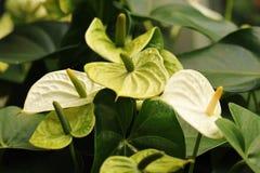 Anthurium ή φλαμίγκο άνθιση λουλουδιών στον κήπο Στοκ Φωτογραφία