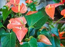 Anthurium ή φλαμίγκο άνθιση λουλουδιών στον κήπο Στοκ εικόνες με δικαίωμα ελεύθερης χρήσης