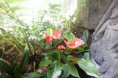 Anthurium ή φλαμίγκο άνθιση λουλουδιών στον τροπικό κήπο Στοκ φωτογραφίες με δικαίωμα ελεύθερης χρήσης