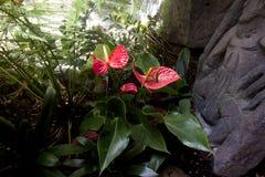 Anthurium ή φλαμίγκο άνθιση λουλουδιών στον τροπικό κήπο Στοκ εικόνες με δικαίωμα ελεύθερης χρήσης