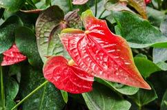 Anthurium ή φλαμίγκο άνθιση λουλουδιών Στοκ Εικόνες