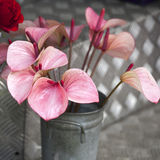 Anthurium ή φλαμίγκο λουλούδι Τοπ όψη Στοκ Εικόνα