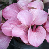 Anthurium ή φλαμίγκο λουλούδι Στοκ εικόνα με δικαίωμα ελεύθερης χρήσης