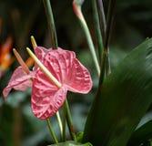 Anthurium ή φλαμίγκο πλάγια όψη λουλουδιών Στοκ Φωτογραφίες