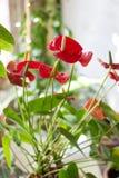 anthurium ανθίζει το κόκκινο Στοκ φωτογραφία με δικαίωμα ελεύθερης χρήσης