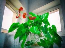anthurium ανθίζει το κόκκινο Στοκ Φωτογραφίες
