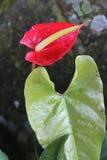 anthurium ανθίζει το κόκκινο Στοκ εικόνα με δικαίωμα ελεύθερης χρήσης