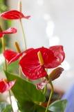 anthurium ανθίζει το κόκκινο Στοκ φωτογραφίες με δικαίωμα ελεύθερης χρήσης