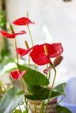anthurium ανθίζει το κόκκινο Στοκ Εικόνα