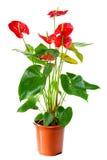 anthurium ανθίζοντας φυτό Στοκ φωτογραφία με δικαίωμα ελεύθερης χρήσης