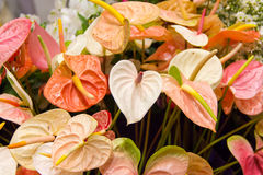 Anthurium ανθοδέσμη Στοκ Φωτογραφία