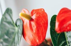 Anthurium, είναι ένα είδος διακοσμητικού φυλλώματος της οικογένειας Araceae, αρχικά από την τροπική Αμερική Στοκ Εικόνα