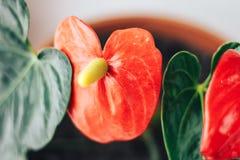 Anthurium, είναι ένα είδος διακοσμητικού φυλλώματος της οικογένειας Araceae, αρχικά από την τροπική Αμερική Στοκ φωτογραφίες με δικαίωμα ελεύθερης χρήσης