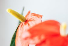 Anthurium, είναι ένα είδος διακοσμητικού φυλλώματος της οικογένειας Araceae, αρχικά από την τροπική Αμερική Στοκ φωτογραφία με δικαίωμα ελεύθερης χρήσης