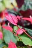 Anthurium εγκαταστάσεων Delray κόκκινο Στοκ Φωτογραφίες