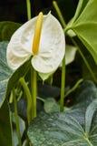 Anthurium λευκό Στοκ Εικόνες