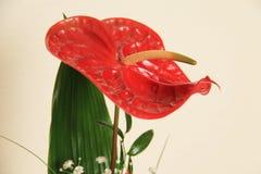 anthurium η ανασκόπηση απομόνωσε το κόκκινο λευκό Στοκ Εικόνα