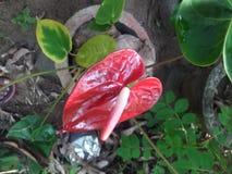 anthurium η ανασκόπηση απομόνωσε το κόκκινο λευκό Στοκ φωτογραφία με δικαίωμα ελεύθερης χρήσης