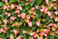 Anthurium διακόσμηση κρίνων Στοκ Εικόνα