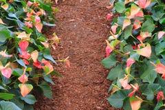 Anthurium κήπος Στοκ εικόνα με δικαίωμα ελεύθερης χρήσης