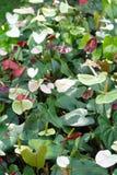 Anthurium κήπος Στοκ Φωτογραφίες