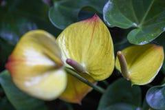 Anthurium κίτρινη κινηματογράφηση σε πρώτο πλάνο Στοκ Εικόνα
