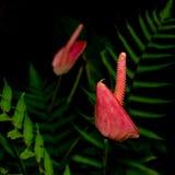 Anthurium και φτέρες στον κήπο Στοκ Εικόνα