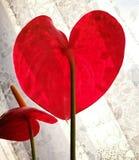 Anthurium Καλλιτεχνικός κοιτάξτε στα εκλεκτής ποιότητας ζωηρά χρώματα Στοκ εικόνα με δικαίωμα ελεύθερης χρήσης
