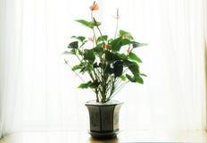 Anthurium κουρτίνα Andraeanum Στοκ φωτογραφία με δικαίωμα ελεύθερης χρήσης